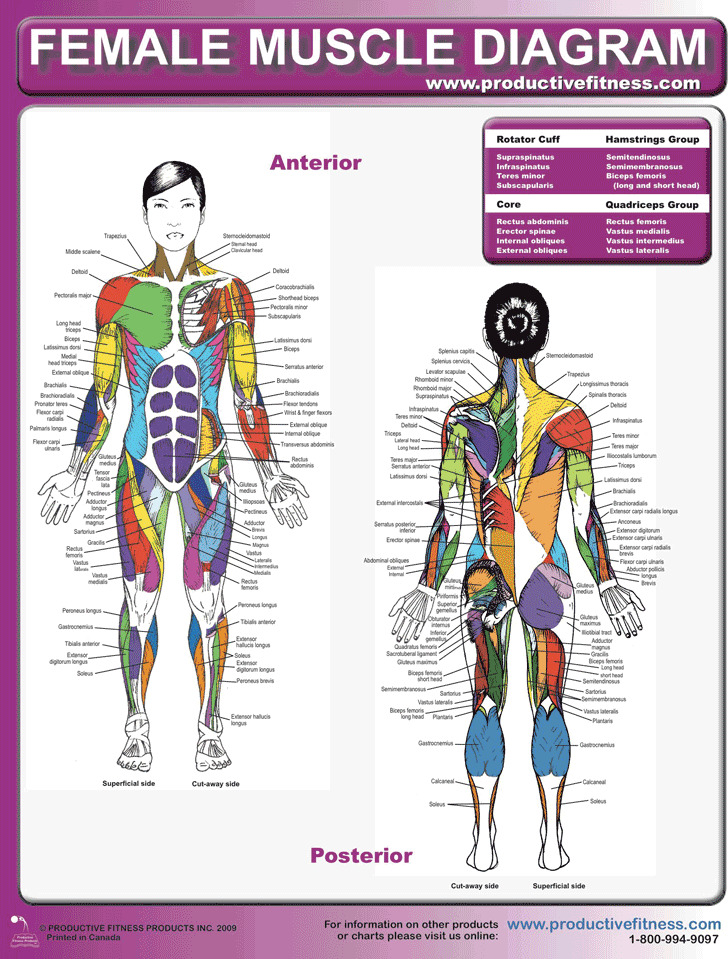 3+ Muscle Chart Free Download