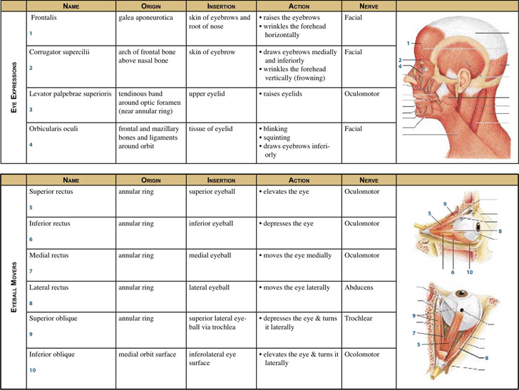 Muscle Chart 1