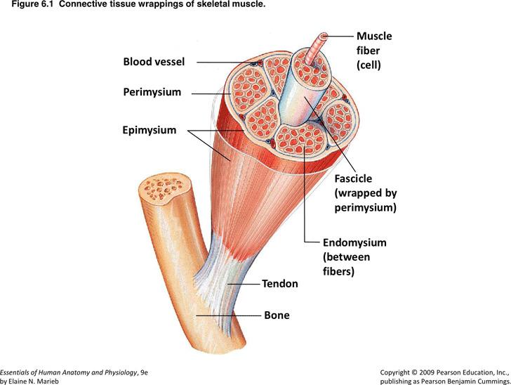 Muscle Chart 2