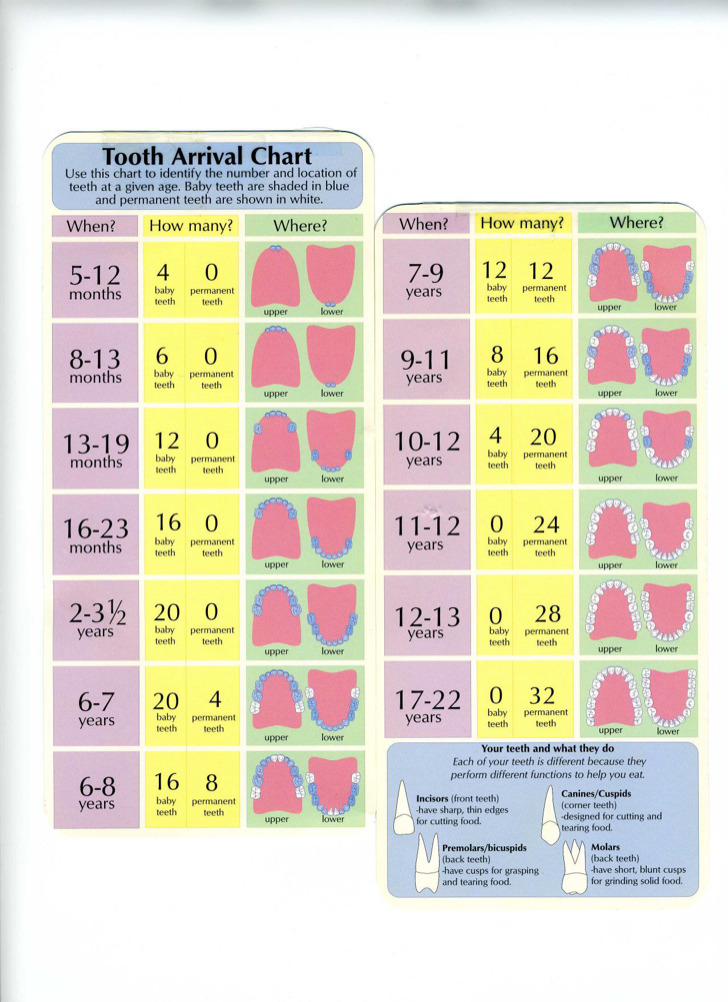 Stages Of Teeth Baby Teeth Growth Chart